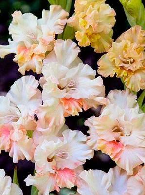 gladiolus-gofrirovannyy-krispi-raff