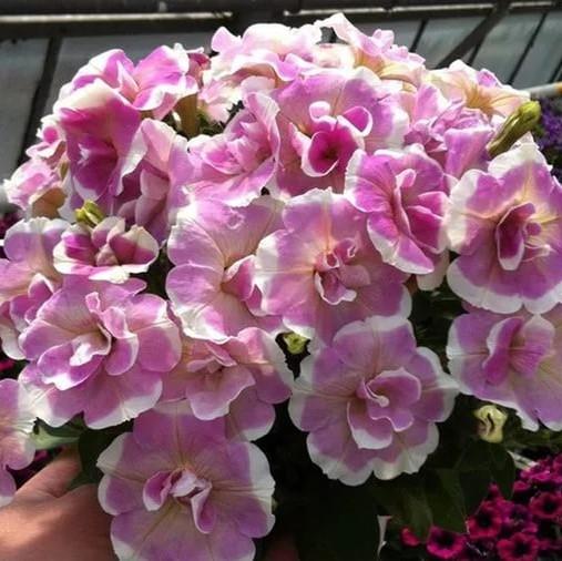 petuniya-sweet-pleasure-lavender-white-circle