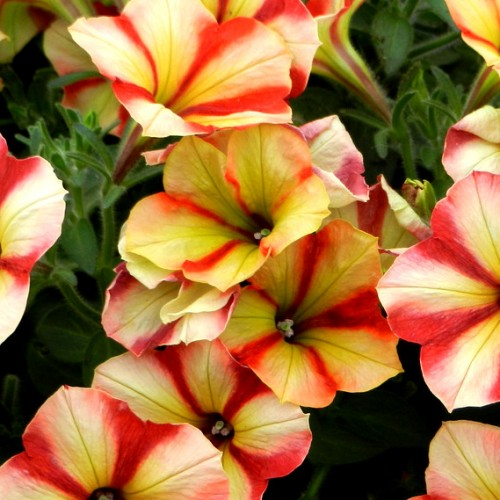 petunia_crazytunia_citrus_twist