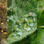 Листоблошка - медяница