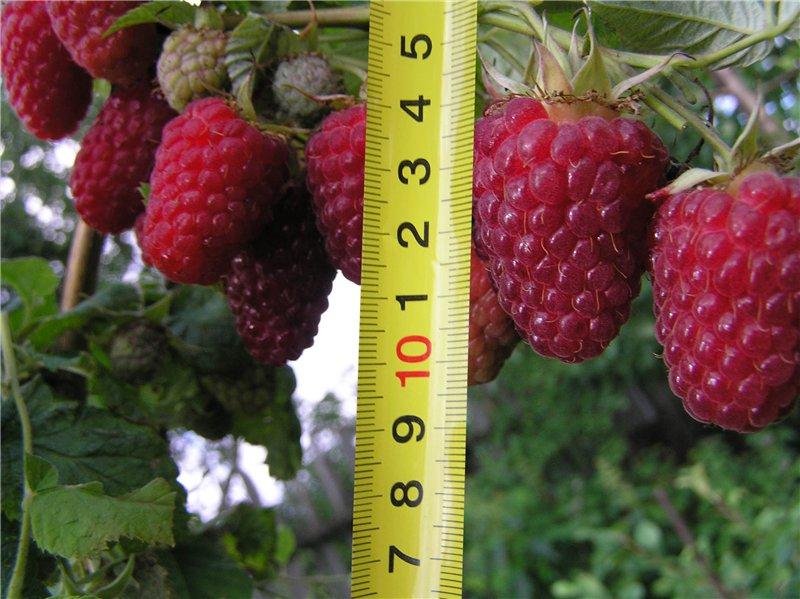 Сорт малины с самыми крупными ягодами