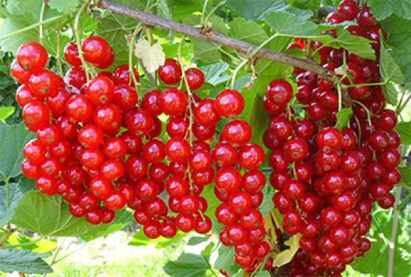 Смородина красная Сахарная Дачная Коллекция