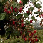 Малиновое дерево Таруса