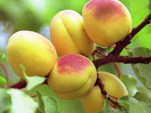 abrikos-alesha