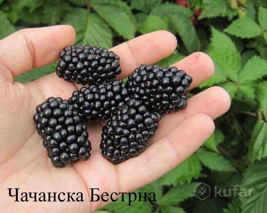chachanskaya-bestrna