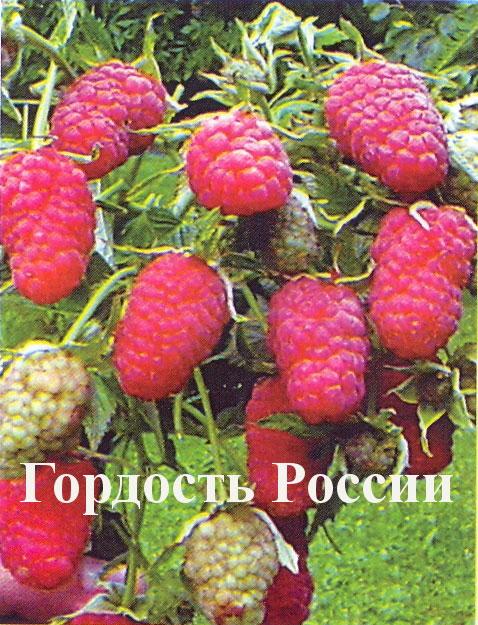 malina-krupnopl-gordost-rossii