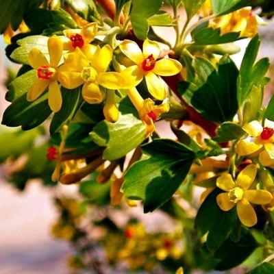 smorordina-zolotistaya