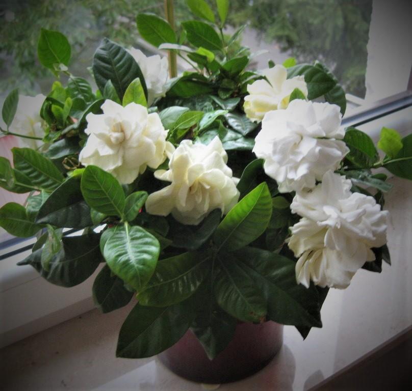 gardeniya-belosnezhnaya-roza-zhasminova