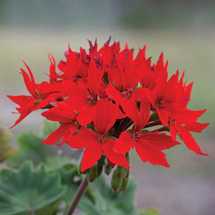 pelargoniya-zonalnaya-kvantum-red