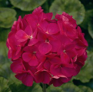 pelargoniya-zonalnaya-maverik-violet