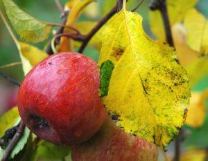 jesien-jablko