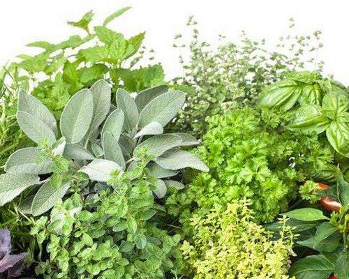 Пряноароматические растения