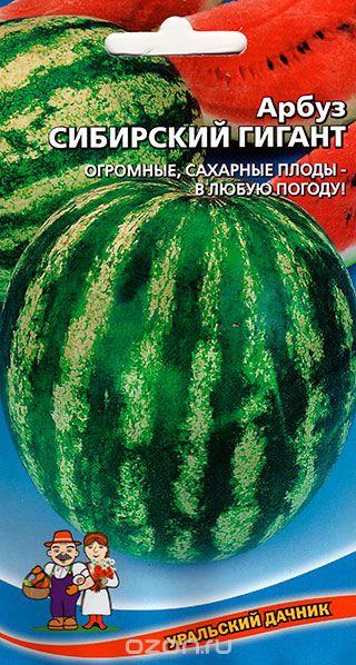 arbuz-sibirskiy-gigant-uralskiy-dach