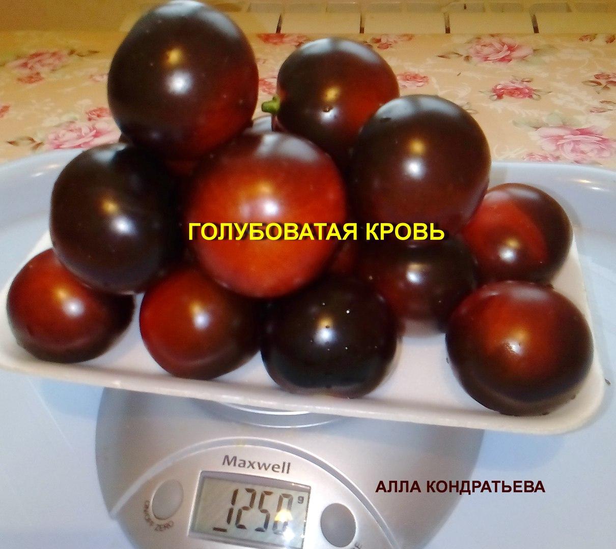 tomat-golubovataya-krov