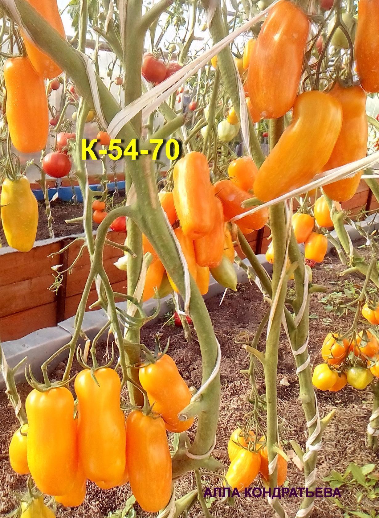 tomat-k-54-70