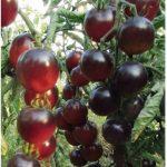tomat-kaskad-villidzh-blu