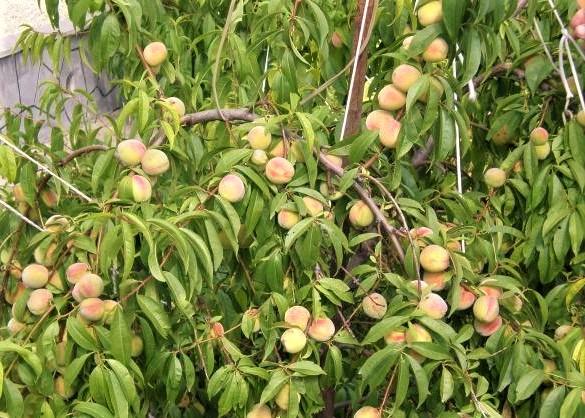 Персик воронежский кустовой как сажать 73
