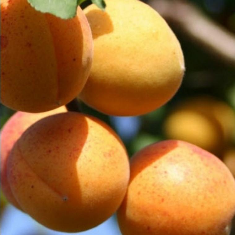 Картинки по запросу абрикос жигулевский сувенир купить