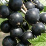 Смородина черная Руслан