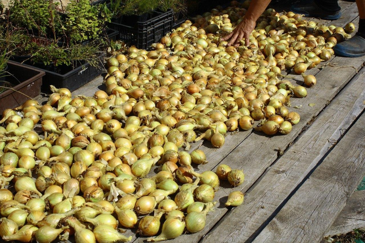 Семейный крупный лук, семена-луковицы