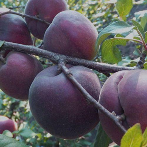 Саженцы плодовых с открытой корневой системой