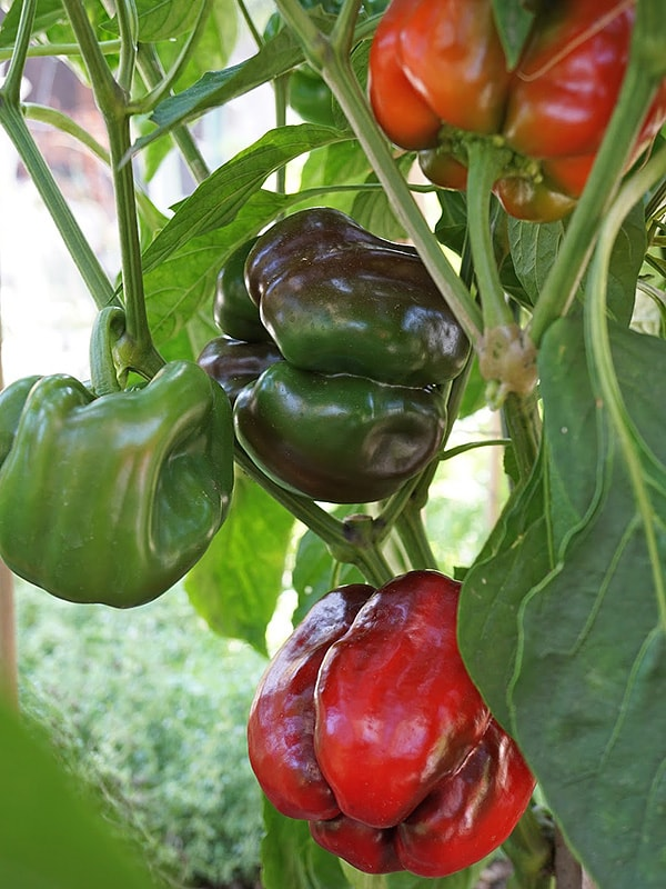 Перец сладкий Асти красный (Quadrato D'Asti Rosso)