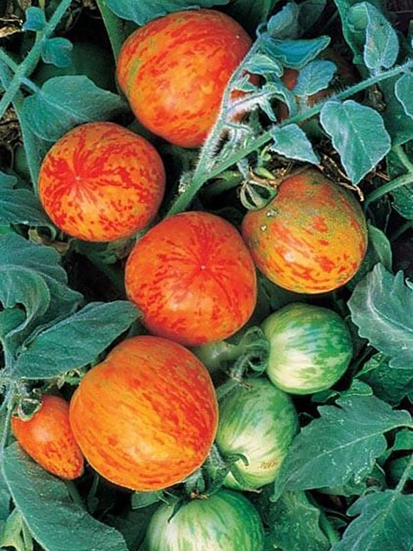Томат Эльберта персиковая (Elberta Peach)