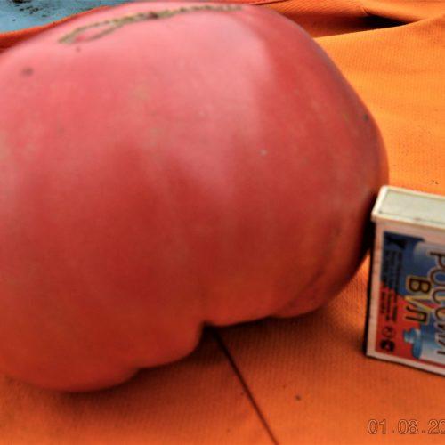 Сызранские коллекционные томаты