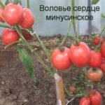 воловье-сердце-минусинское-11