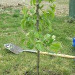7a24fd4f0c92550d9587e46a359f8e01--pyrus-pear-trees