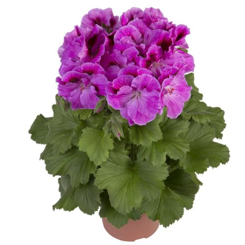 Черенки цветочных культур в торфяных таблетках