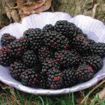 ChesterThornlessBlackberry