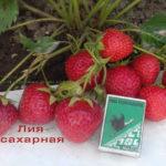 фото-сорт-клубники-ранней-лия-сахарная-саженцы-беларусь-клубники-витебск-питомник-ягодный-сад