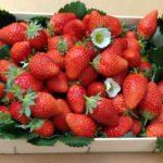 34076-fraisier-mariguette-le-lot-de-20-2 (2)