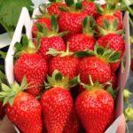 fraisier-mariguette-r-1343477-1