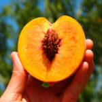 10-шт-Сладкий-персик-семена-персиковое-дерево-Семена-гном-Бонанза-персики-бонсай-семена-плодов-для-дома