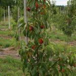 персик дерево (1)
