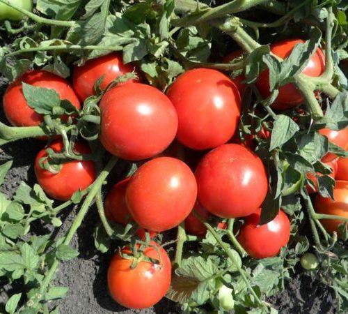 Tomat-Marisha