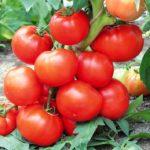 Tomat-vsegda-mnogo