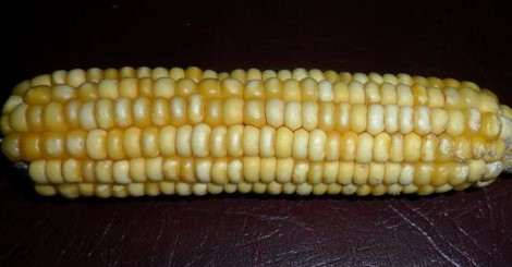 Zea Maize Linn Gold