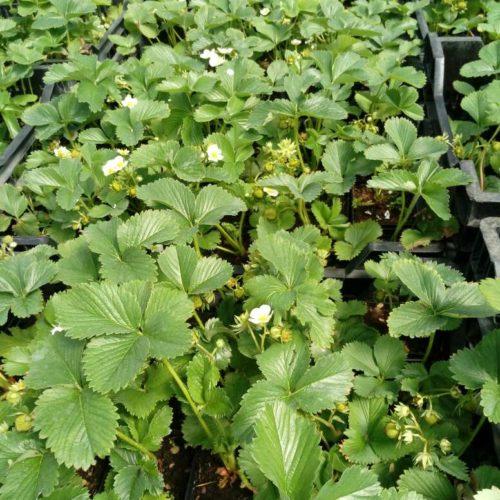 Саженцы крупноплодной садовой земляники в КОНТЕЙНЕРАХ. Скидка 25 %