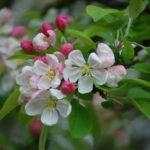 yablonya-v-cvetu-blossoms-cvetushchaya-vetka