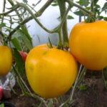 домашние-сердца-гонсиоровских-желтые-3-850x850