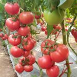 winter-greenhouse-pink-tomato-varieties03006612703