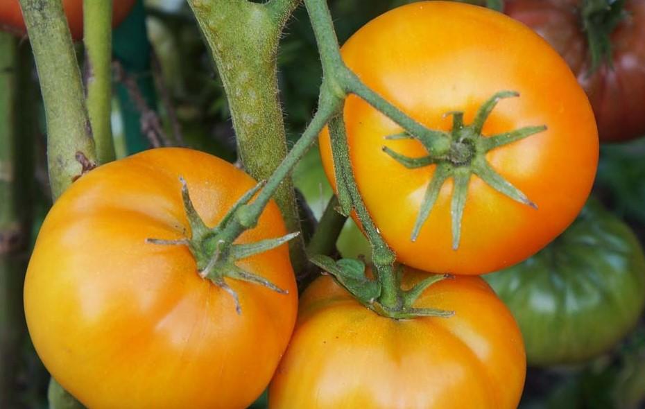 pomidor-gordost-poberezhya-oranzhevy-1