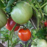pomidor-super-klusha-2