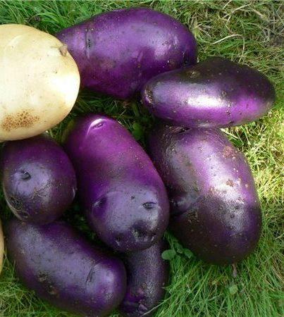 fioletovyj-kartofel-opisanie-i-sovety-po-prigotovleniyu-14