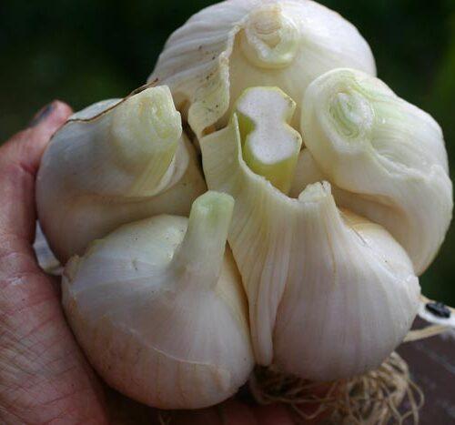 Крупноплодный лук-шалот, яровой чеснок, рокамболь