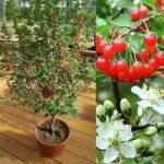 dwarf-cherry-trees-dwarf-cherry-tree-romeo-hardy-into-zone-2-in-or-dwarf-fruit-trees-california-jpg