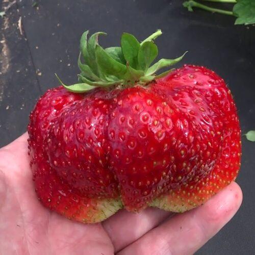 Саженцы крупноплодной садовой земляники в контейнерах. ПРЕДЗАКАЗ НА СЕНТЯБРЬ - 2021